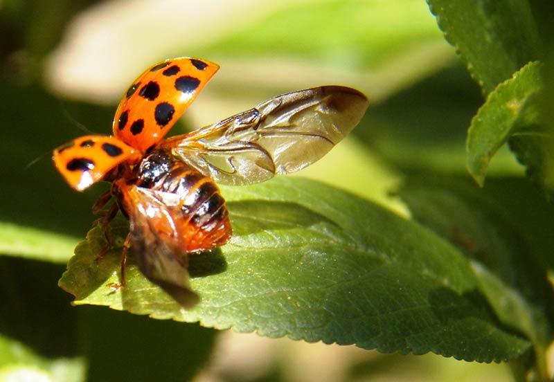 Photo d'une coccinelle sur le point de prendre son envol par le photographe nature Gerald Markhoff, atteint de la maladie de Parkinson
