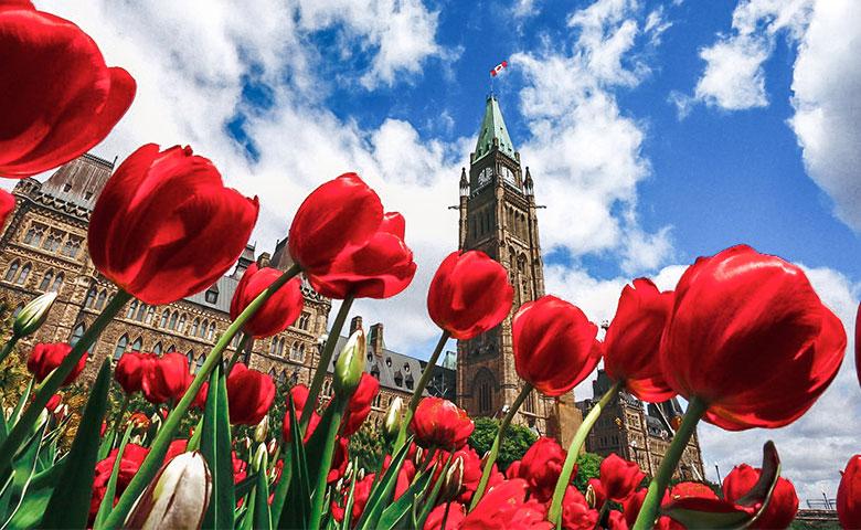 Tulipes canadiennes devant la Colline du Parlement